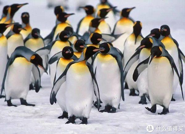 #自然小课堂#腾讯家的企鹅到底是什么品种?